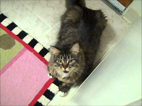 Teddy Bearz The Maine Coon Meows