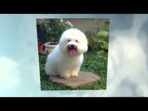 Comportamiento Cachorros Raza Poodle Mini Toy Youtube