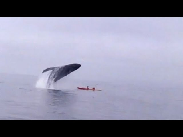 Humpback Whale Jumps Out of Water Landing on Kayakers