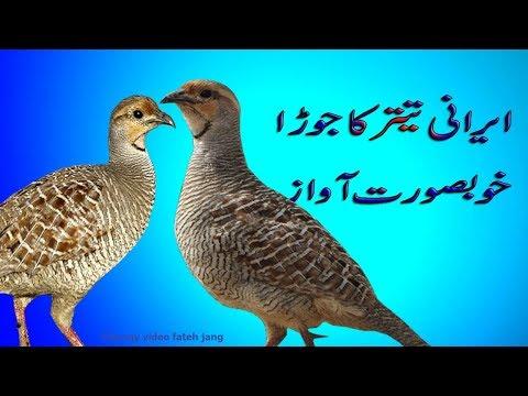 teetar bird | irani teetar | teetar voice | teetar fight | irani teetar speaking