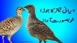 Video Teetar Batair | teetar batair ki larai | teetar fight | quail fight | تیتر اور بٹیر کی لڑائی download MP3, 3GP, MP4, WEBM, AVI, FLV Februari 2018