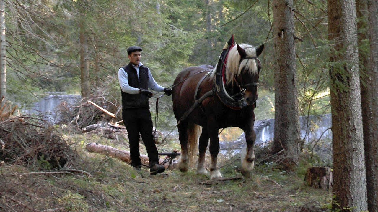 Holzrücken mit Pferden / Wood-pulling with carthorses ...