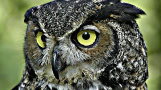 Сова - Owl (Энциклопедия животных)