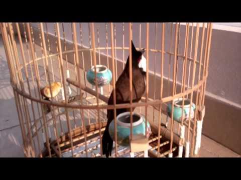 chào mào chiến -Kênh về chim Chào mào của Triệu Triệu