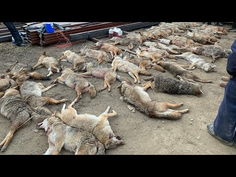 Coyote Hunting Amish Style! 42 Coyote Day!!! (Coyote Drive)