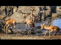 Antelope and impala Escapes cheetah, lion, crocodile, hippo leopard.