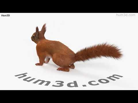 American Red Squirrel HD 3D model by Hum3D.com
