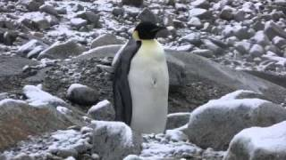 Emperor Penguin at Palmer Station, Antarctica