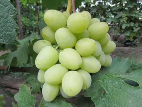 Дарья - виноград раннего срока созревания - Родословная Дарьи