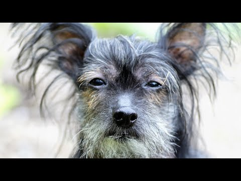 Amazing Facts on Chinese Crested | In Hindi | Dog Facts | Animal Channel Hindi