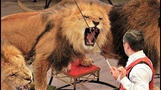 Лев напал на дрессировщика в московском цирке