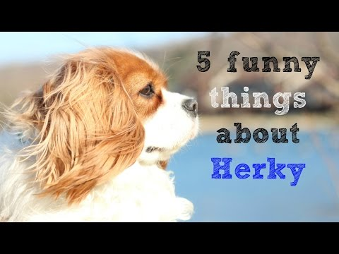 5 Funny Things about Herky   Cavalier King Charles Spaniel funny facts
