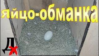яйца-обманки (подкладыши) в гнездах. Зачем они нужны? Из чего сделать?