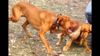 List Of Aggressive Dog Breeds