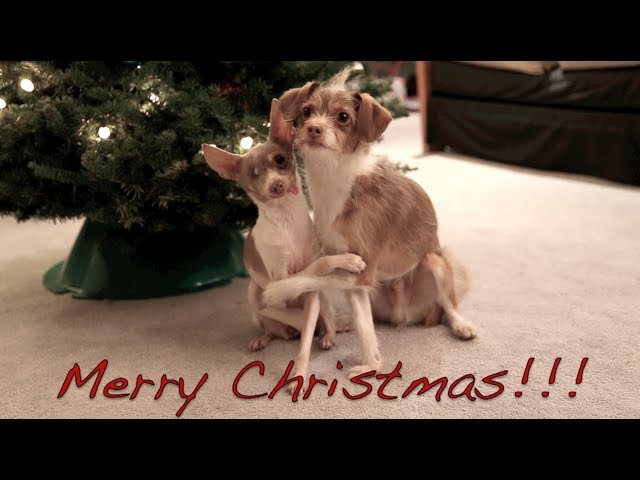 Merry Christmas! Xmas dog tricks training