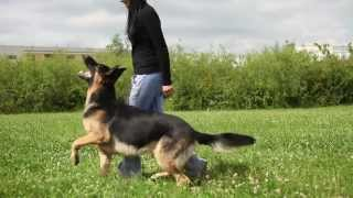Lexus (ares Slovraj) 17 Months - The German Shepherd Tricks