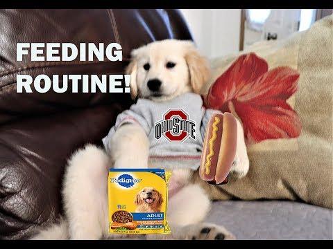 3 GOLDEN RETRIEVER PUPPY DOGS FEEDING ROUTINE!