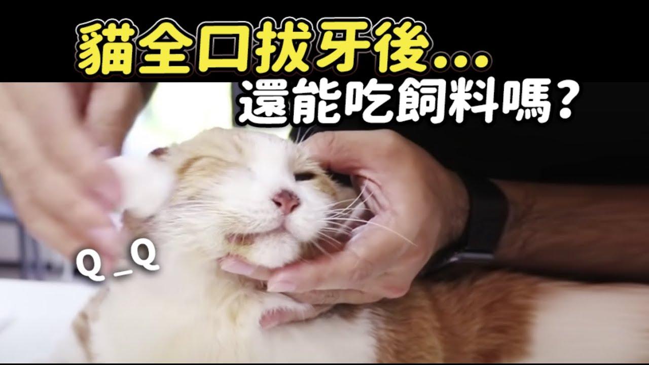 【貓全口拔牙後…還能吃飼料嗎?】志銘與狸貓