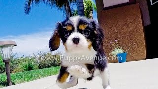 Bentley The Super Cute Akc Cavalier King Charles Spaniel For Sale Near Escondido, Ca