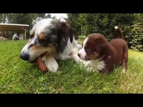 Australian Shepherd puppies Labanoris kennel