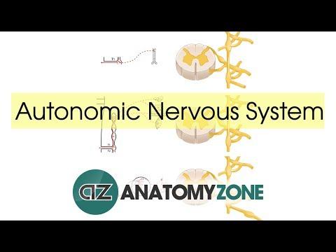 Видео Essay on the autonomic nervous system