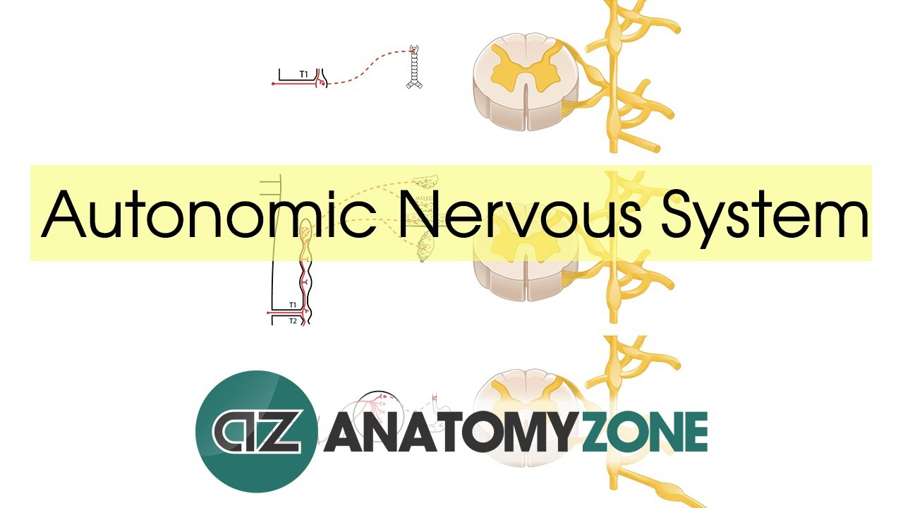 Autonomic Nervous System Introduction - YouTube