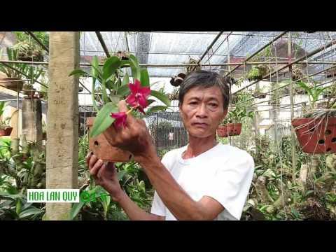 Giới thiệu về hoa lan rừng Nữ hoàng châu phi cực kì rực rỡ