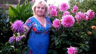 ВИДЫ И СОРТА ГЕОРГИН  ГЕОРГИНЫ В МОЕМ САДУ * Марина Цветы