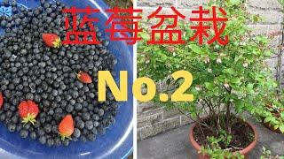 如何盆栽蓝莓(No.2)/蓝莓放在露台上好看又好吃/养心又养颜/蜜蜂和孩子都围着转