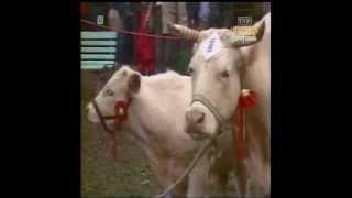 PRL 1988 Rolnictwo, hodowla. Cerkwica, krowy.