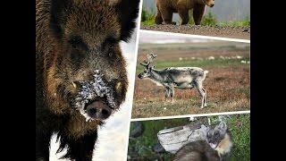 Учим животных для детей  Голоса и звуки диких животных для детей