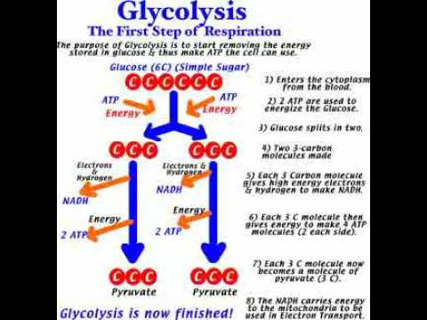 Glycolysis in urduhindi youtube glycolysis in urduhindi ccuart Choice Image