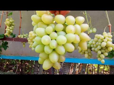 Супер урожайный виноград Настя