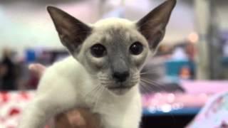 Cat Breed Spotlight: Siamese Cats