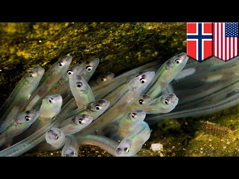 European Glass Eels Use Internal Magnetic Compass To Navigate - TomoNews