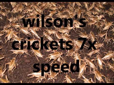 wilson's crickets 7x speed