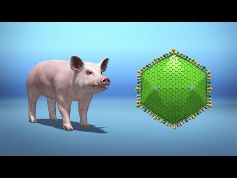 African swine fever outbreak explained