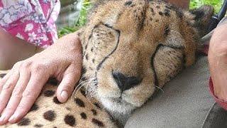 Гепард мурлыканье - Милые Большие кошки. Видео Подборка