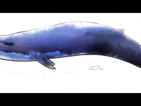 كم وزن الحوت الأزرق Youtube