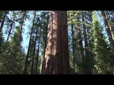 Biggest Tree in the World! General Sherman Tree. Largest Living Thing on Earth!