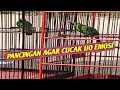 Suara Pancingan Cucak Ijo Agar Emosi  Mp3 - Mp4 Download
