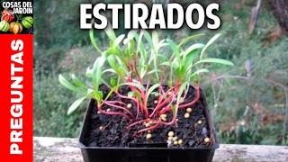 4 razones por las que se estiran los tallos de las plantas y como solucionarlo @cosasdeljardin