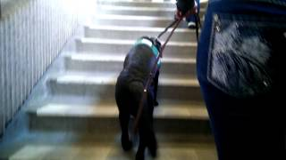 Service Dog In Training: Exiting The Subway