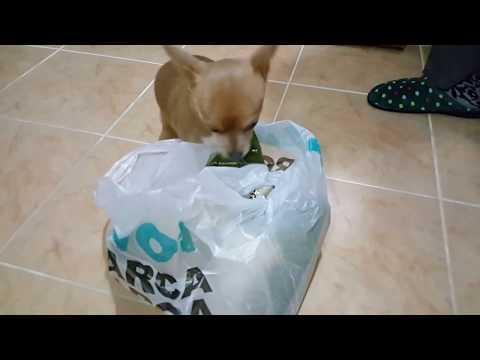 Köpeğimiz Badi Market Poşetini Sahiplendi Vermem de Vermem Diyor  (Dog Chihuahua Buddy Şivava)
