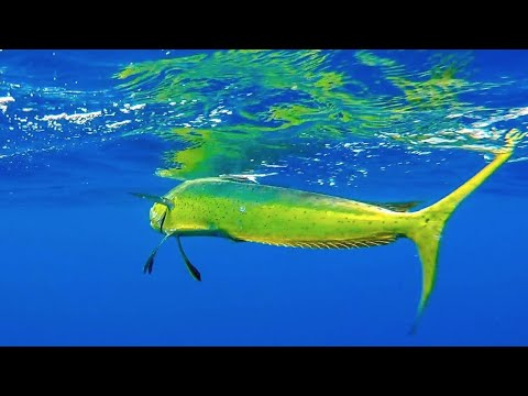 Monster Mahi Mahi | Kayak Fishing Hawaii