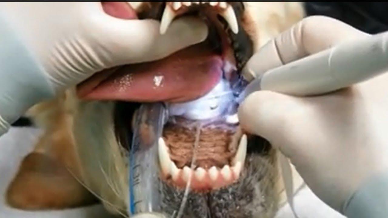 How to brush teeth dog Ultrasonic cleaning of teeth: reviews 41
