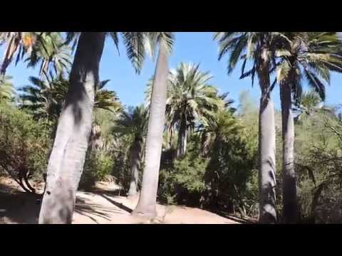 Palma Chilena, Jubaea Chilensis - Parque Nacional La Campana (Ocoa)