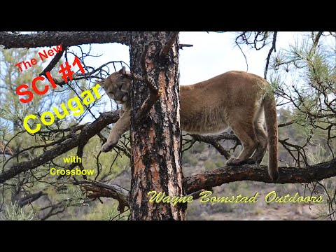 New Mexico Cougar with Crossbow, 2020