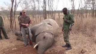 elephant poaching how it works and why hunting is needed to save animal poplulations in africa