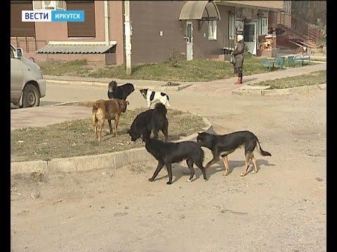 """Бродячих собак в Иркутске опять не отлавливают, """"Вести-Иркутск"""""""
